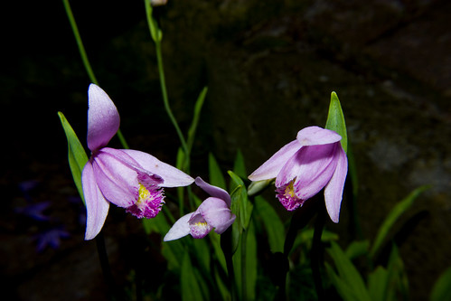 Pogonia ophioglossoides (Orchid)