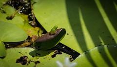 (dustaway) Tags: lismorerainforestbotanicgardens lismore northernrivers nsw nature spring australia