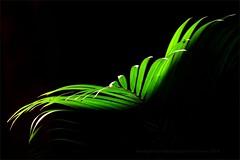 Fly (Konny ;-))) Tags: fan palm palme palma grün verde green fliege fly mosca voler voar