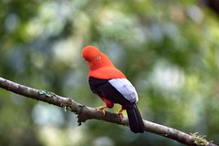Peru (richard.mcmanus.) Tags: peru bird cockoftherock rainforest manu gettyimages mcmanus cloudforest richardmcmanus
