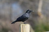 Crow on a Post (Neal D) Tags: bc surrey crescentbeach crow blackiespit northwesterncrow bird