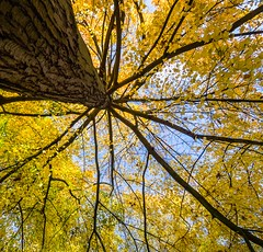 Yellow and Blue (Bill  M) Tags: woodland autumn surrey england copyrightbillmartin2016 virginiawater copyright bill martin park landscape tree places olympusomdem1 copyrightbillmartin
