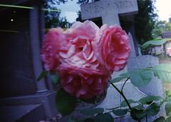 . (LauraKiora) Tags: sprocketrocket 35mmfilm filmphotography 35mmfilmphotography lomography paris france 35mm ishootfilm filmisnotdead rose roses pinkroses graveyard