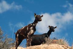 Goats who stare at men (H&T PhotoWalks) Tags: goats pov pointofview mojon puertodemazarrón murcia spain canoneos400d sigma18250 animal tan