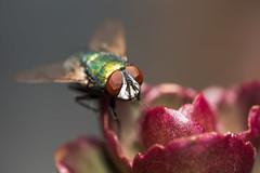 Serial Pest (Andrew John Clark) Tags: sigma150mm28 insect garden closeup 14tc teleconverter sb700 fly 11 d810 sigma macro