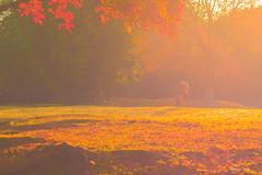 Autumn wind    (^^Teraon) Tags: japan nara naracity   autumn cair caer  unesco  park parque nature   deer cervo ciervo autumnalleaves    sunrise morning sun morningsun dawn madrugada amanecer sigma50mmf14exdg canon eos m2 eosm2  travel traveling journey