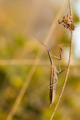Sacre monte... (regisfiacre) Tags: mantis religiosa mante religieuse brune praying insect insecte bugs nature macro canon 100mm meadow prairie france moselle