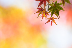 with dreamy rainbow (hitohira_) Tags: flower flowers nature bokeh maple leaves