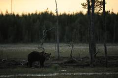 Ours brun (Samuel Raison) Tags: ours oursbrun brownbear bear wild wildlife nature animal finlande finland nikon nikond3 nikon4200400mmafsgvr