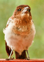 Pied butcherbird (18 of 22) (Daniela Parra F.) Tags: aves birds butcherbird piedbutcherbird australia queensland southeastqueensland birdsofaustralia australianwildlife aussiebirds australianbirds wild wildlife springbrook subtropical rainforest mountainrainforest springbrooknationalpark