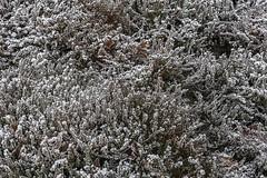 Erster Frost - 0006_Web (berni.radke) Tags: ersterfrost frost raureif wassertropfen rime eisblumen eiskristalle iceflowers icecrystals escarcha