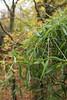 Badock's Bamboo (Geoff_B) Tags: badockswood bristol walkinthewoods autumn november unprocessed unedited