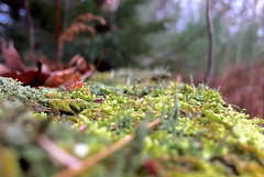 #Moss #lychnis #leaves #tree #stump #growing #mike #Liebler #mikey #fall #foliage #Autumn #forest #Connecticut #woods #woodland #nature #life #brilliantly #beautiful #mosses #mossy #ground (mikeliebler222) Tags: colorful awesome cool spiked spikes green growingonwood wood growingontreestump covers covering covered foliose lichens lichen treestump trees fallen interesting moss lychnis leaves tree stump growing mike liebler mikey fall foliage autumn forest connecticut woods woodland nature life brilliantly beautiful mosses mossy ground