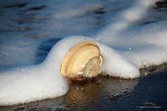 Mousseuse / Foamed (deplour) Tags: dunedebouctouche cocentreirving dune plage sable sand beach coquille seashell coques clams palourde quahog