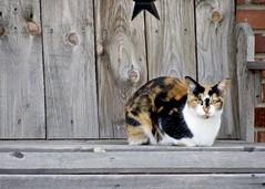 splotched (Pejasar) Tags: pet mammal cat feline bench wood porch tulsa oklahoma