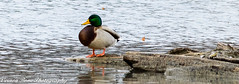 Adult Male Mallard (vernonbone) Tags: 2016 500mm d3200 ducks eastpoint eastpointpark lakeontario lens november ontario birds closeup duck lake landscape mallard nikon outside pond sigma street water