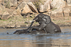 29-South_Africa-2016 (Beverly Houwing) Tags: africa drink elephant krugerpark phalaborwha southafrica wateringhole play scuffle wrestle