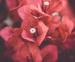 pretty in pink (ronsimon1) Tags: flower plant petal pink depth field depthoffield outdoor landscape landscapes detail