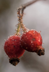 Wishing you a very berry xmas. (S.K.1963) Tags: elements red berries frost olympus omd em1 60mm macro dof bokeh