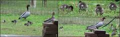 Australian Wood Duck Family - 2015.08.16 (Brissy Girl - Jan Anderson) Tags: duck ducklings australia woodduck australianwoodduck familyanatidae seqld henonettajubata