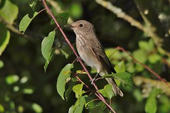 """Spotted Flycatcher. • <a style=""""font-size:0.8em;"""" href=""""http://www.flickr.com/photos/64692331@N04/20629950828/"""" target=""""_blank"""">View on Flickr</a>"""
