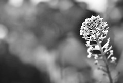 seconda primavera (robra shotography []O]) Tags: bw blur flower closeup bokeh biancoenero alyssum alisso
