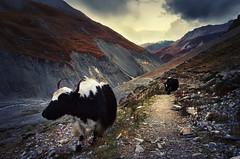 Himalayin Yak (shutterdiscovery) Tags: nepal mountain snow trekking trek cow rocks path landslide mountaineering himalaya circuit annapurna himalayas