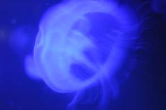 Brest Ocanopolis_Mduse (Chaufglass) Tags: ocean bretagne brest medusa ocan ocanopolis mduse invertbr