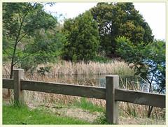 Railing by the main lake, Cardinia Lakes, Pakenham. (fotograf1v2) Tags: trees lake grass reeds landscape flora australia victoria hillside springtime pakenham lakebank railingfence cardiniashire australianblackwood cardinialakes
