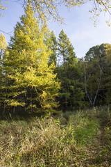 Tamarack Specimen (gamelaner) Tags: minnesota avon tamarack sna larixlaricina mndnr scientificandnaturalarea avonhillsforest