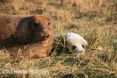 Seals at Donna Nook #sealpup #seal #donnanook #wildlifetrust #wildlife #puppingseason #wild #wildanimals #cute #show_us_nature #show_us_macro #CountryfileMag #bbcspringwatch #animals @bbcspringwatch #nature #ig_countryside #show_us_nature #show_us_macro @ (Michael Hickman) Tags: wild cute nature animals wildlife yorkshire seal yorkshiredales wildanimals wildlifetrust sealpup ukgarden donnanook bbcspringwatch countryfile puppingseason ignature igcountryside igbritishisles showusnature showusmacro countryfilemag englandsbigpicture