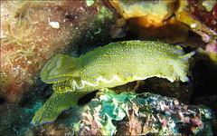 Doris (waielbi) Tags: sea plongée scuba nature mediterranean slug scubadiving hyères sealife