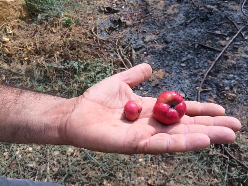 Zarrour Huge size Fruit Deirkoubel a Sep 12, 2015