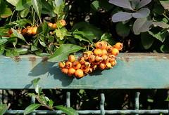 Herbstliche Zaunflora (Sockenhummel) Tags: autumn fall fence flora fuji herbst finepix fujifilm zaun x30 kirchgasse böhmischesdorf fujix30