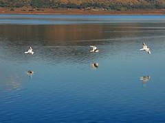 Gabbiani in volo sul lago di Vico (giorgiorodano46) Tags: november autumn italy fall lago mr autunno gabbiani lazio lagodivico uccelliacquatici lagovulcanico monticimini nikonclubit novembre2015 giorgiorodano