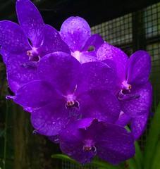 Purple Orchid (Greg Vierra) Tags: goldengatepark orchid flower flora purple sanfranciscoconservatoryofflowers