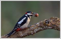 ma noisette à moi ... (guiguid45) Tags: bird nature nikon pic forêt oiseaux sauvage loiret 500mmf4 d810 épeiche picidés