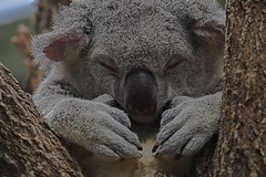 Guess Who Is Sleepy (Geoffsnaps) Tags: animal ed furry nikon head australia panoramic sleepy koala queensland carbon nikkor fx gitzo vr afs monopod acratech 200500mm d810 nikond810 gm5541 monopodhead f56e gitzogm5541carbonmonopod acratechpanoramichead nikonnikkor200500mmf56eedvrafs