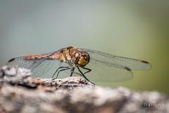 Dragonfly (Bajo Rogan) Tags: arslanagicamost hercegovina herzegovina trebinje trebisnjica dragonfly insect fly wings flight wind head body autumn short