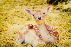 whitetail (Danel Solabarrieta) Tags: whitetail cute whitetailed deer happy jaca