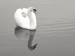 Swan reflection (PhotoLoonie) Tags: swan muteswan white blackandwhite reflection ukwildlife wildlife