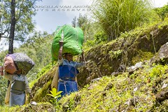 319A1680 Harvesting Tea. Western Ghats, Kerala (Priscilla van Andel (Uploading database)) Tags: teaplantation tea harvestingtea munnar kerala