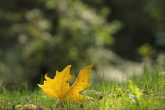 Albero e foglia. (SimonaPolp) Tags: leaf foglia yellow giallo bokeh september settembre fall autunno grass erba freen verde bosca