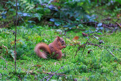 Aberfoyle (yve1964) Tags: redsquirrel squirrel nature wildlife animal scotland aberfoyle