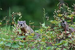 Woodchuck / Marmottecommune (www.andrebherer.com) Tags: wildlife nature animal woodchuck marmotte commune andre bherer