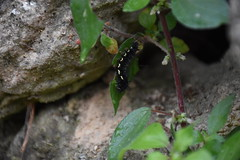 Oruga negra en Parietaria (esta_ahi) Tags: oruga larva larvae caterpillar nymphalidae lepidoptera insectos fauna parietaria urticaceae flora farena altcamp montral tarragona spain espaa