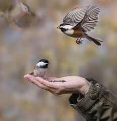 a bird in the hand... (marianna_a.) Tags: p2960448 bird birds chickadee nuthatch montreal hand feeding seeds sunflower angrignon park mariannaarmata composite