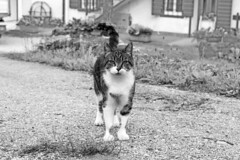 L'enigma ha quattro zampe (giovannazorzenon) Tags: animali animaledomestico felini gatto