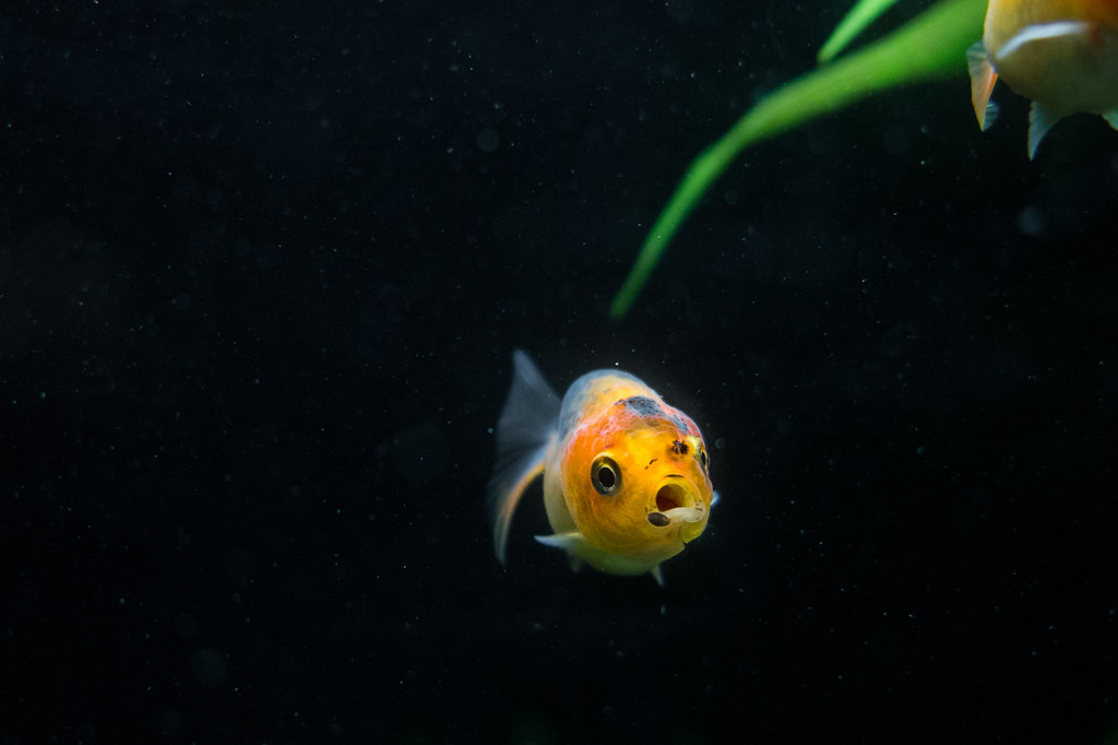 The world 39 s best photos of calico and goldfish flickr for Fry baby fish