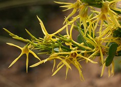 Yellow Tailflower (philipbouchard) Tags: anthocercislittorea yellowtailflower solanaceae flower wildflower shrub yellow busselton beach westernaustralia australia